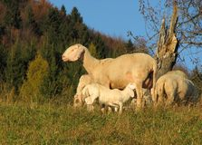Mother sheep breastfeeding her lamb Royalty Free Stock Photos