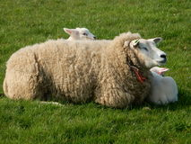 Mother sheep and children Royalty Free Stock Photo