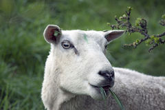 Mother sheep Stock Images