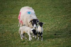 Mother sheep ewe with two young lambs. A large female sheep ewe painted with blue and red spots, protecting her two small black faced lambs, in a green grass royalty free stock photo