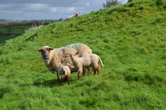 Mother Sheep Feeding Her Babies In Ireland stock images
