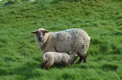 A Mother Sheep feeding Her Baby In A Field royalty free stock image