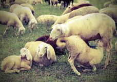 Mother sheep feeding her lamb in the flock of sheep grazing. Mother sheep feeding her young lamb in the flock of sheep grazing with vintage effect Royalty Free Stock Image