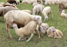 Mother sheep feeding her lamb in the flock of white sheep. Grazing Stock Image