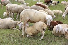 Mother sheep feeding her lamb in the midst of the flock. Mother sheep feeding her lamb in the midst of the many flock of white sheep grazing Royalty Free Stock Photos