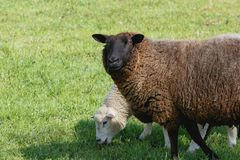 Mother sheep with feeding lamb on a pasture royalty free stock images