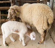 Mother sheep and her baby lamb. In the farm, Ratchaburi, Thailand stock photo