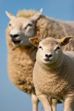Mother sheep and her lamb. In closeup Royalty Free Stock Photography