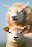 Mother sheep and her lamb. In closeup Stock Photography