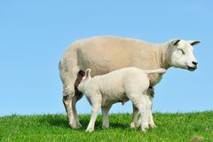 Mother sheep and her lamb drinking milk in spring Stock Images