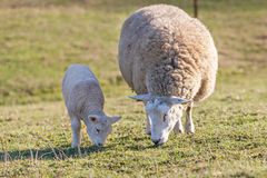 Mother sheep with her lamb Royalty Free Stock Photos