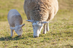 Mother sheep with her lamb Stock Images