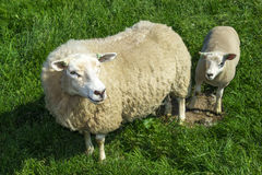 Mother sheep and her lamb. In green grass field Stock Photo