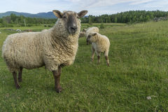 Mother sheep and her lamb Stock Photography