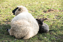Mother sheep and her lamb Royalty Free Stock Photo