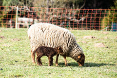 Mother sheep and her lamb Royalty Free Stock Images