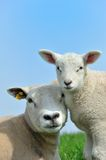 Mother sheep and her lamb in spring Stock Photos