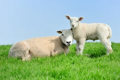 Mother sheep and her lamb in spring Royalty Free Stock Photo