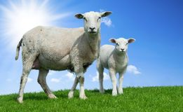 Mother sheep and her lamb in spring. Friesland The Netherlands Stock Image