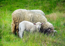 Mother sheep and her lamb in spring Royalty Free Stock Images