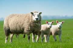 Mother sheep and her lambs in spring Stock Images