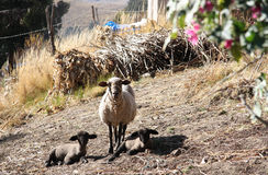 Mother Sheep with her Lambs Stock Photography
