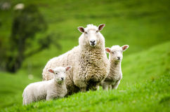 Mother sheep and her twin lambs Stock Photos