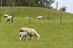 Mother sheep with lamb Stock Photos