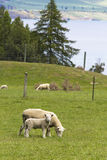 Mother sheep with lamb Royalty Free Stock Image