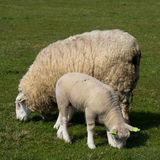 Mother sheep and lamb Royalty Free Stock Photo