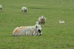 Mother sheep with lamb lying in a green pasture with orange pain Royalty Free Stock Photography