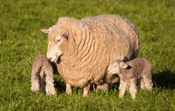 Mother Sheep Royalty Free Stock Images