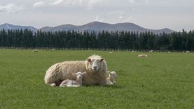 Mother sheep rests with her two young lambs on a farm royalty free stock photography