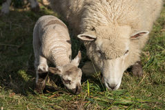 Mother Sheep Royalty Free Stock Photo