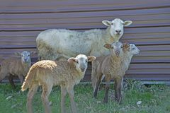 Mother sheep standing in a flock of babies. royalty free stock images