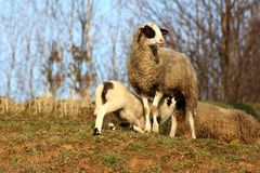 Mother sheep standing on warm sun and feeding her baby lamb. Mother sheep proudly standing on warm sun and looking around while feeding her hungry baby lamb Stock Photos