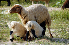 Mother sheep and twins stock photos