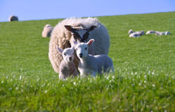 Mother Sheep with Two Cute Little Lambs. Mother Sheep with Two Cute Little Curious Lambs in the Green Grass Field with Blue Sky in Spring royalty free stock photography