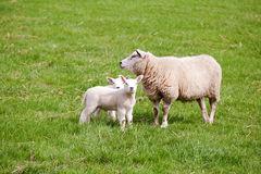 Mother sheep with two lambs Stock Images