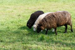 Mother sheep with two lambs feeding on a meadow in spring stock photography