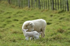 Mother sheep with two lambs stock photography