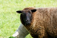 Mother sheep watching the surrounding stock photography