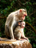 Mother Shelters. A baby monkey finds shelter in its mother warmth Royalty Free Stock Photos