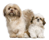 Mother Shih Tzu and her puppy. 3 years old and 3 months old, against white background stock image