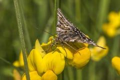 Mother shipton moth (Calistege mi) Royalty Free Stock Photo
