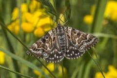 Mother shipton moth (Calistege mi) Stock Photos