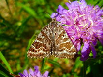 Mother Shipton Moth Stock Images