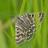 Mother Shipton moth (Euclidia mi) Stock Photo