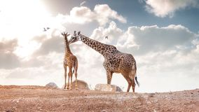 Mother Showing Affection to Baby Masai Giraffe stock image
