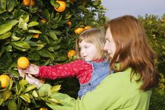 Mother showing daughter orange tree harvest Stock Image